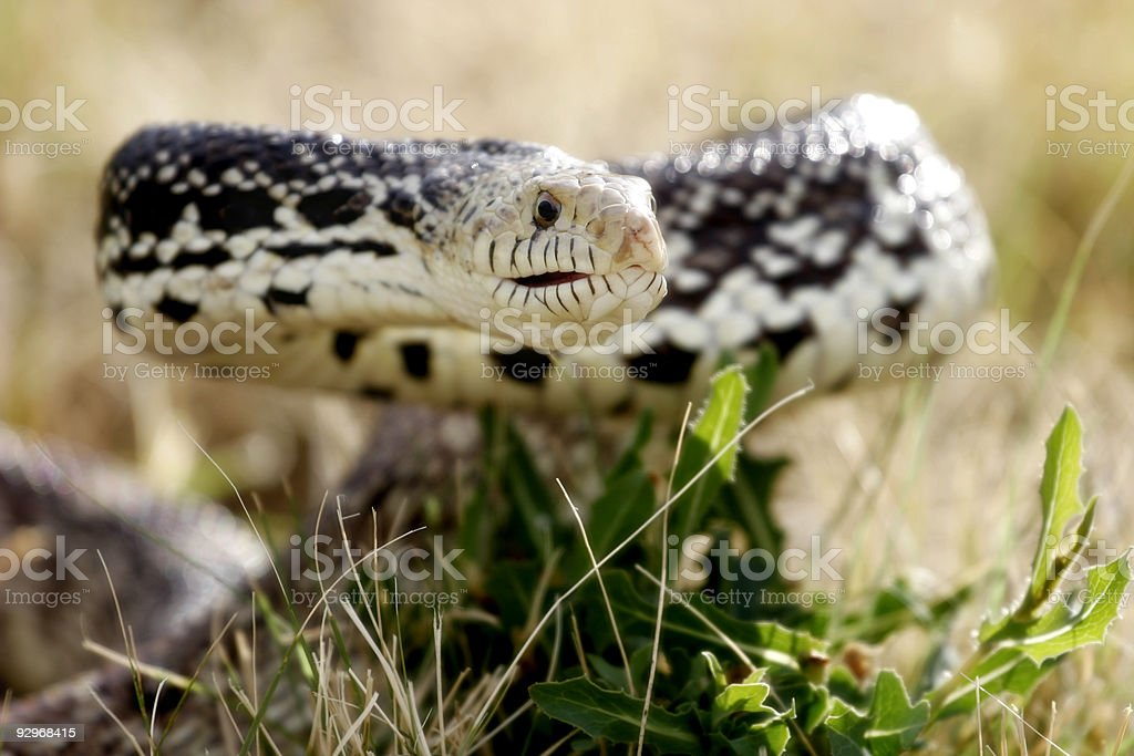 Defensive Snake in the Grass (natural habitat) stock photo