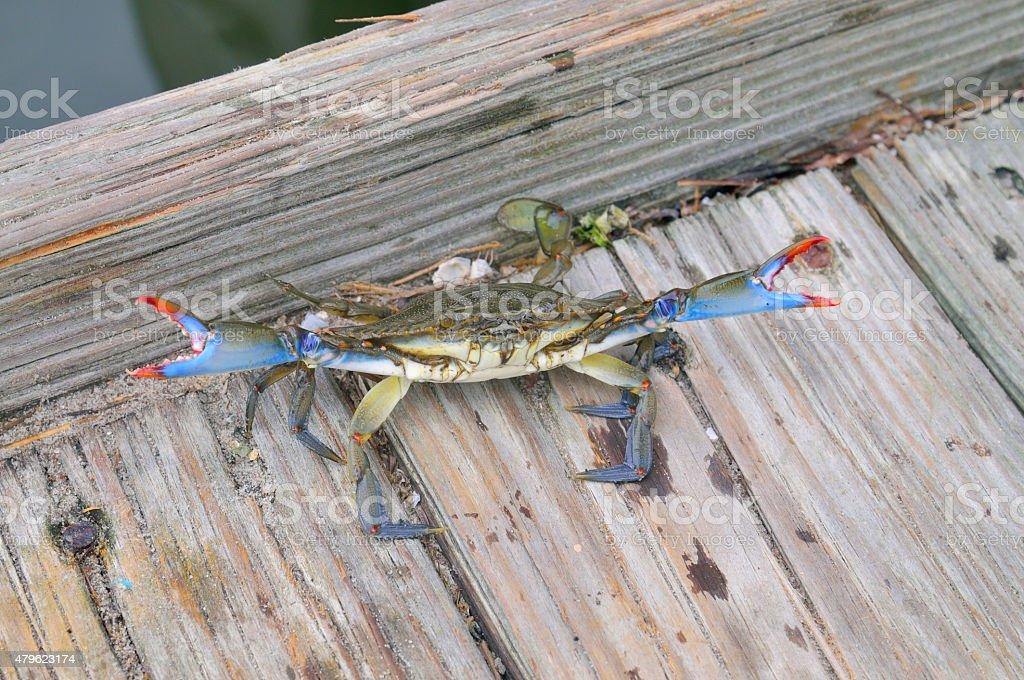 Defiant Maryland, Atlantic or Chesapeake Blue Crab stock photo