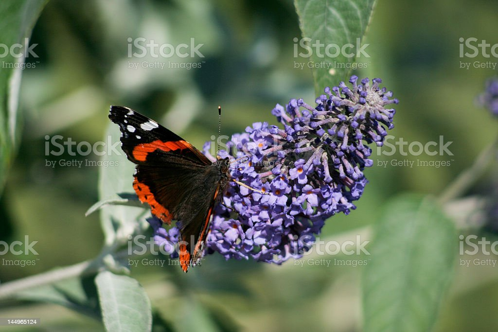 Definitely not the butterfly saison royalty-free stock photo