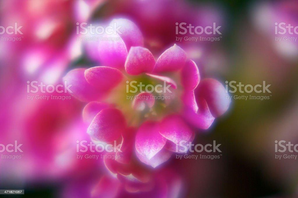 defocus Pink flower royalty-free stock photo
