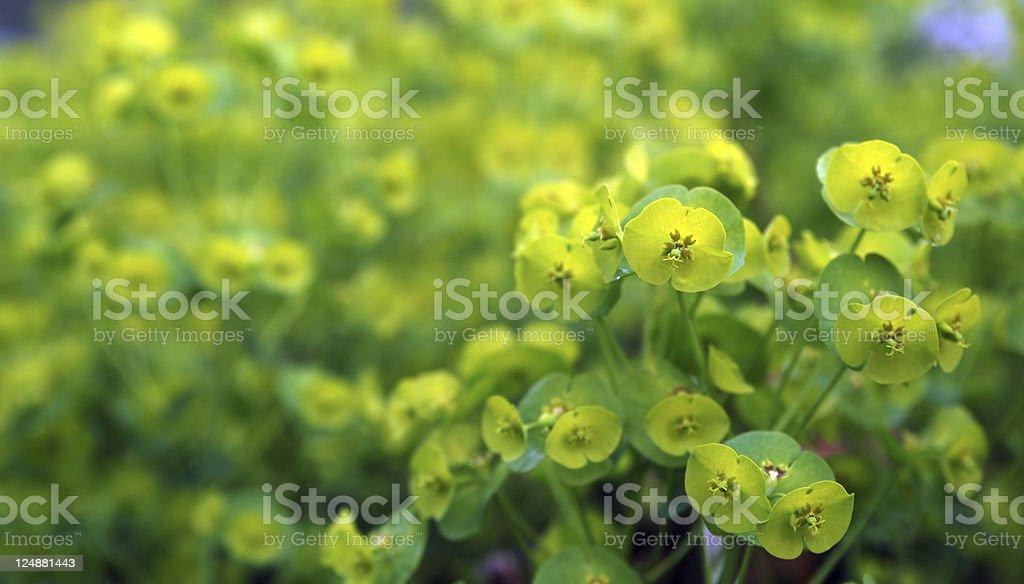 Defocus yellow green euphorbia background stock photo