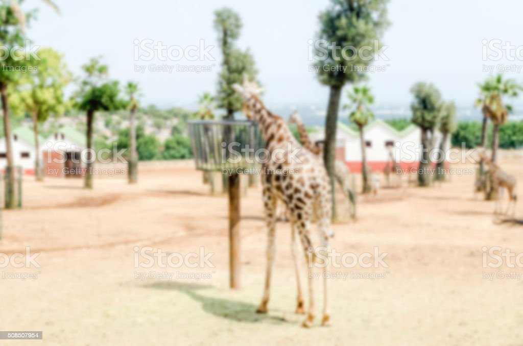 Defocused background of giraffes eating dried hay at the zoo stock photo