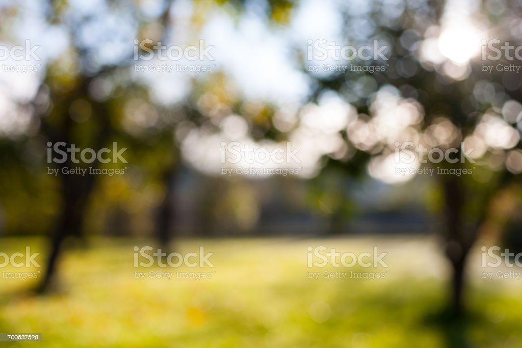Defocused blurry bokeh apple tree garden background with green grass on a sunny day stock photo