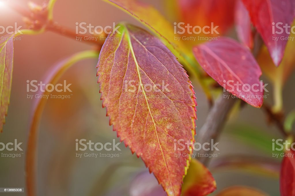 Defocused colored leaves on a bush stock photo