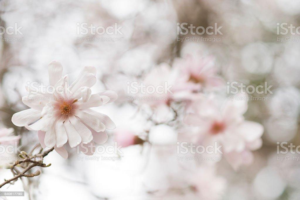 Defocused white magnolia tree stock photo