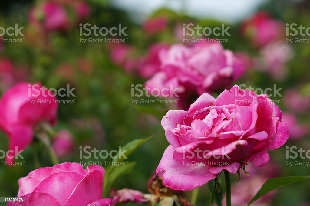 Defocussed Bed of roses royalty-free stock photo