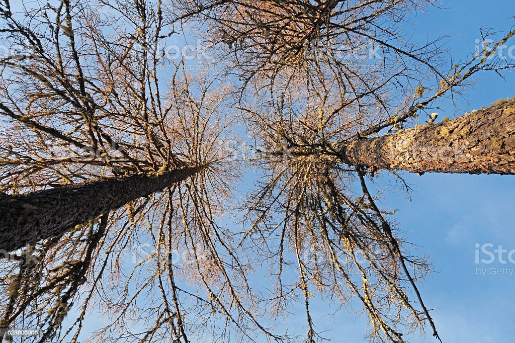 defoliated and leafless trees ,view from below, stock photo