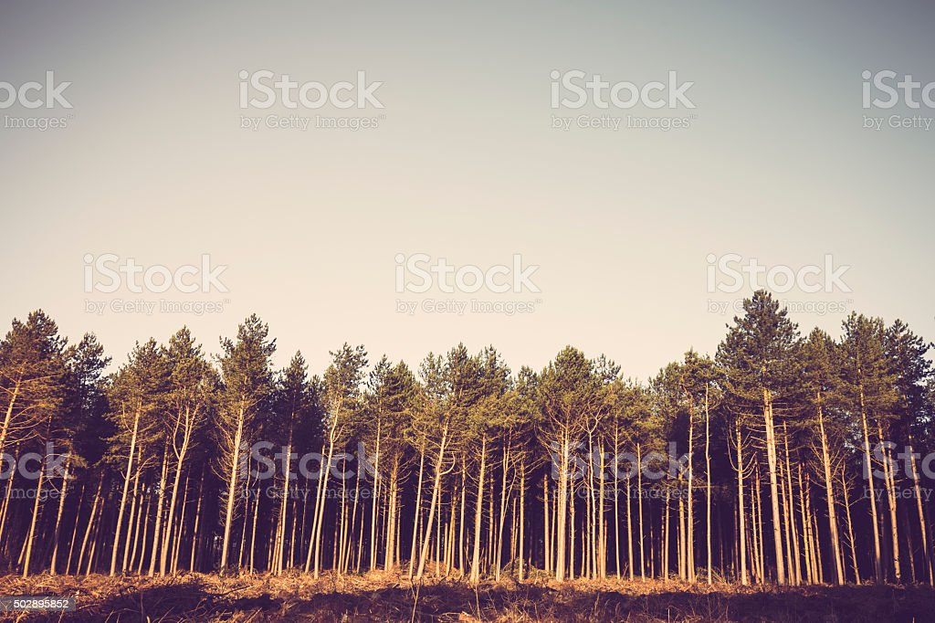 Deforestation of mature pine evergreen forest stock photo