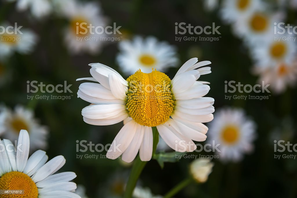 Deformed Chamomile Flower On A Background Of Other Daisies. stock photo