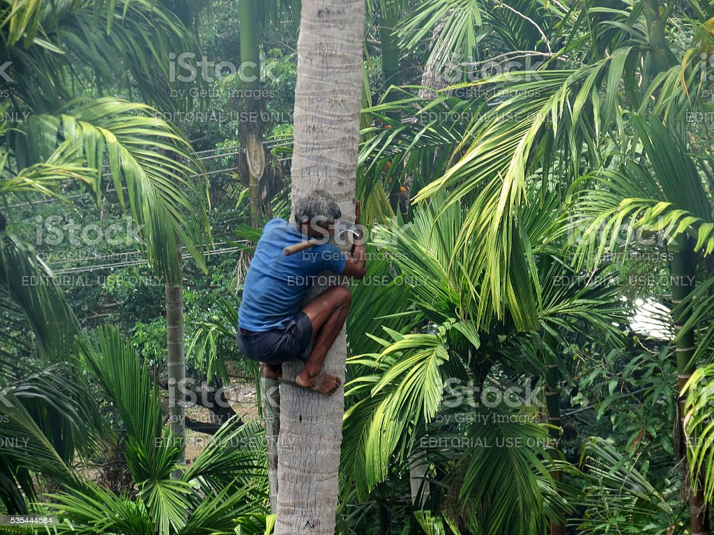 Deft man descending a palm tree. stock photo