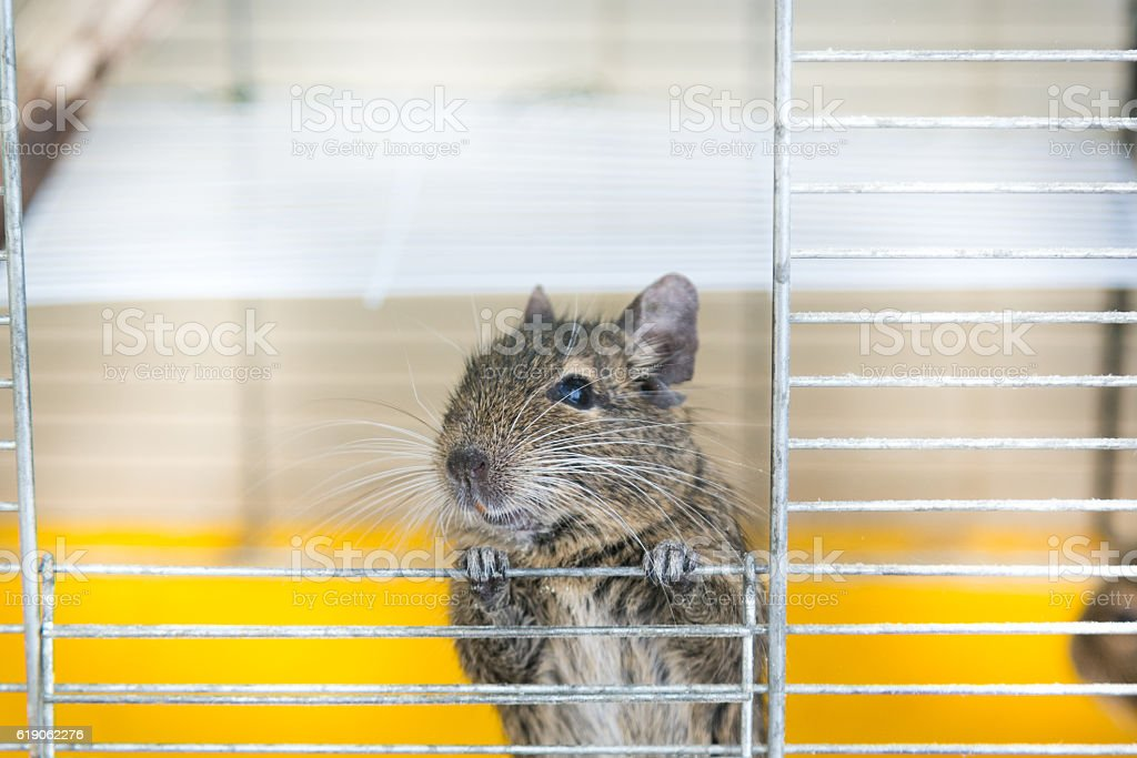 Degu climbs out of the cell stock photo