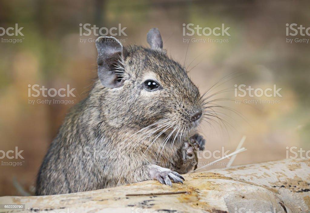 Degu in the woods stock photo