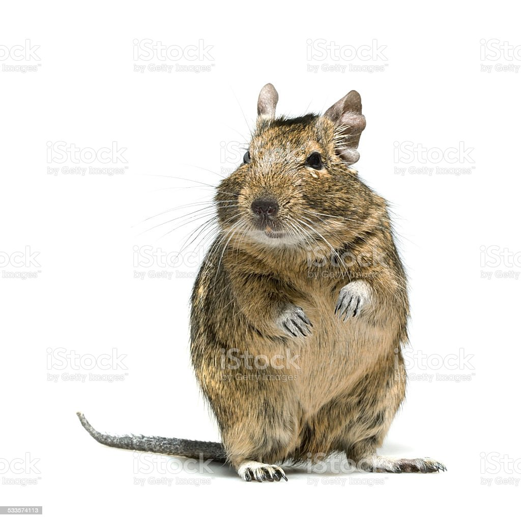 degu rodent pet with tear in eye stock photo