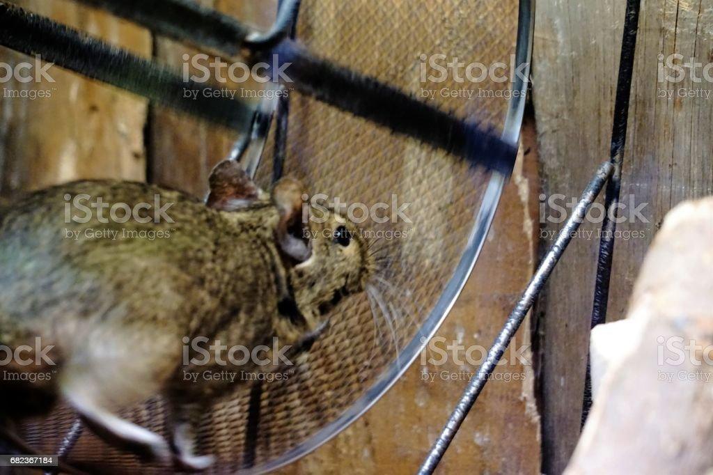 Degu running in wheel stock photo