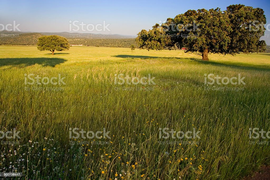 Dehesa landscape stock photo