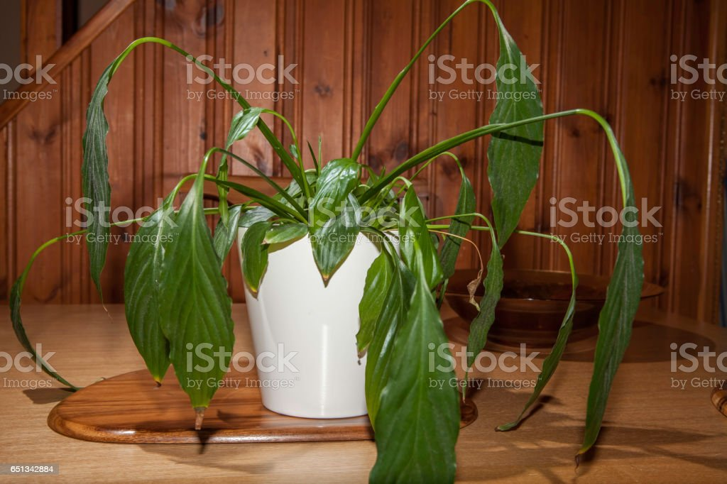 Dehydrated house plant with drooping leaves stock photo