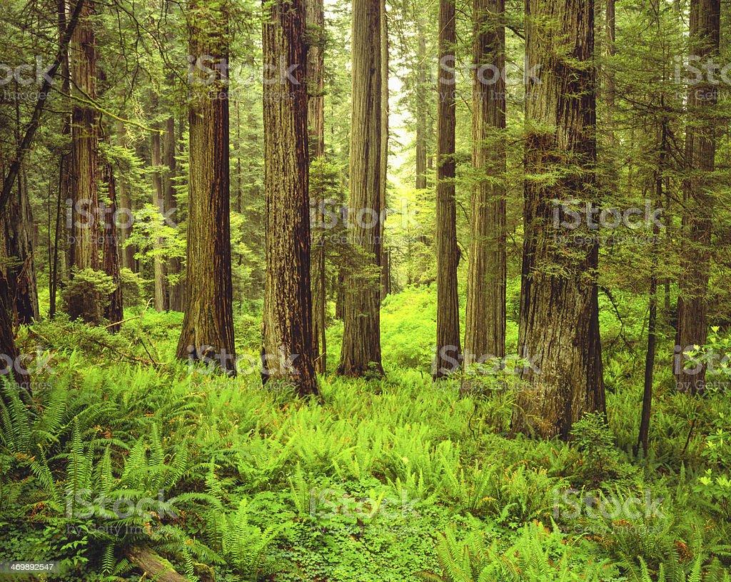 Del Norte Coast Redwood State Park, CA stock photo