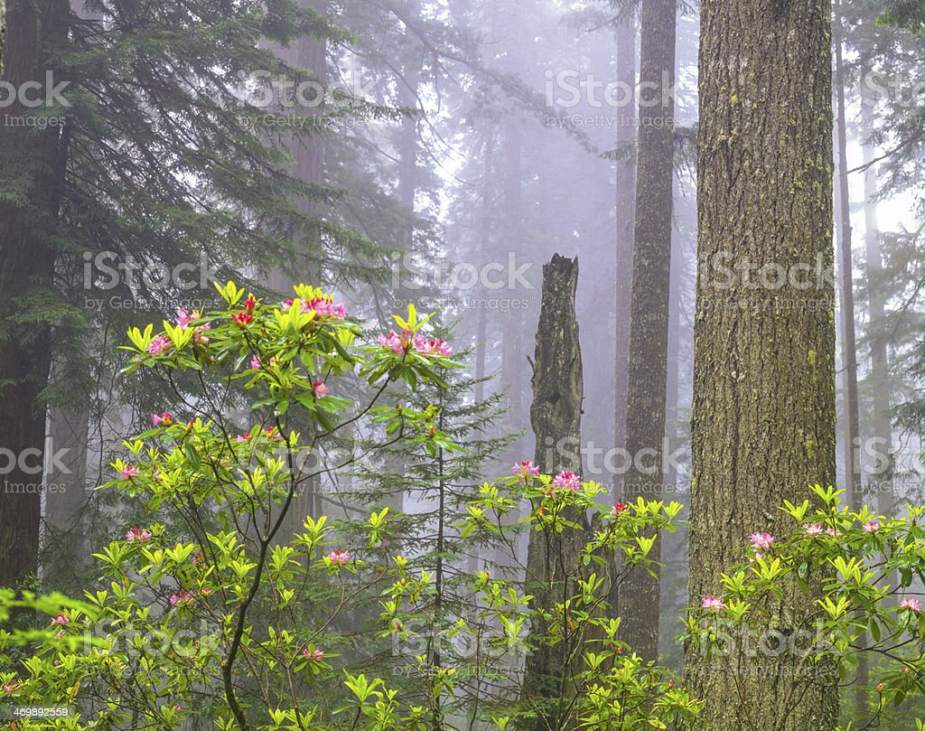 Del Norte Coast Redwood State Park; CA stock photo
