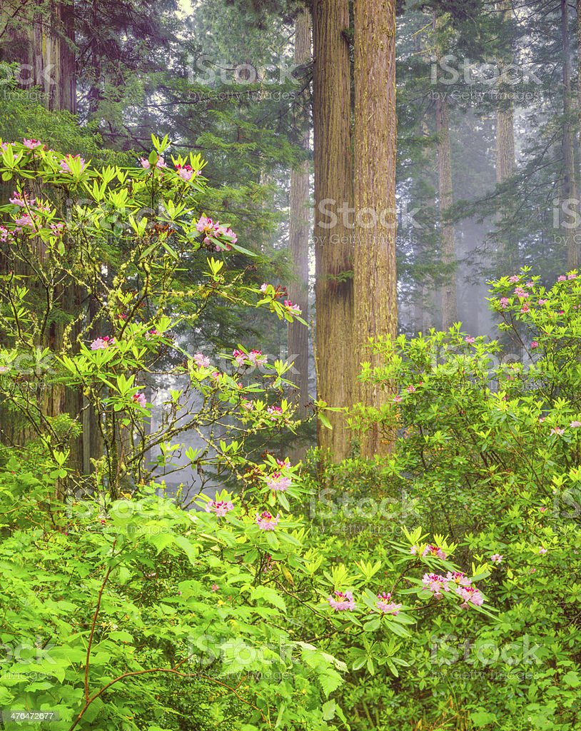 Del Norte Coast Redwood State Park (P) stock photo