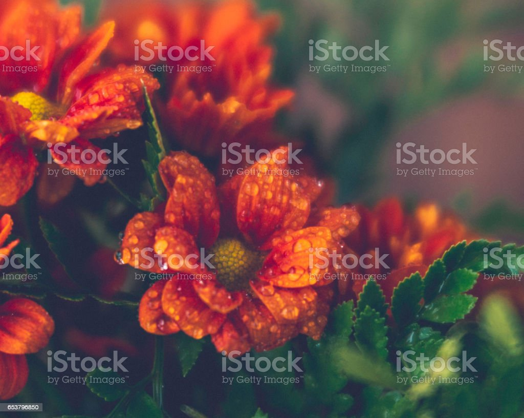 Delicate and beautiful chrysanthemums with dew stock photo