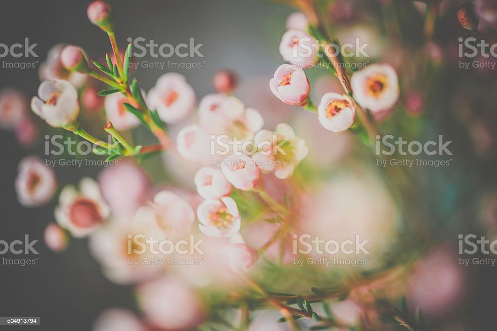 Delicate and beautiful fresh waxflowers against black background stock photo