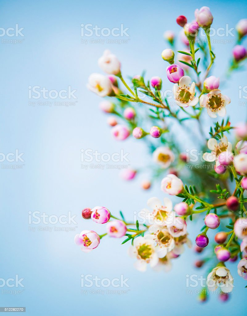 Delicate and beautiful fresh waxflowers against blue background stock photo