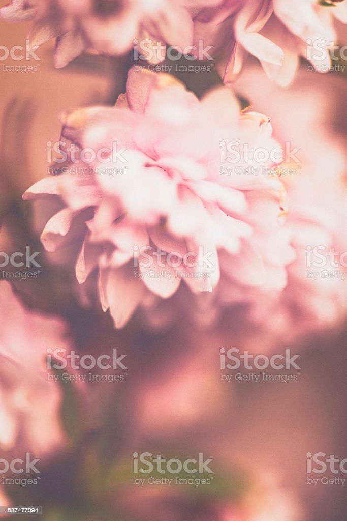 Delicate and beautiful pink blossoms with copyspace. Nature fine art stock photo