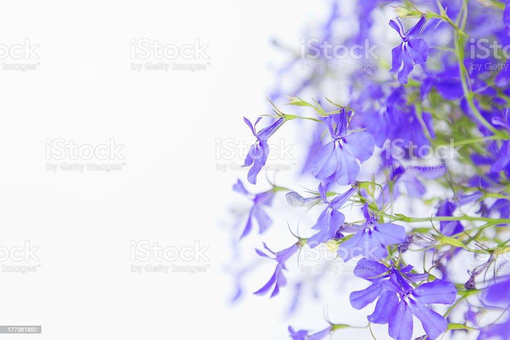 Delicate background with lobelia flowers. stock photo
