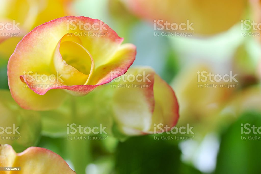 Delicate Begonia bud stock photo