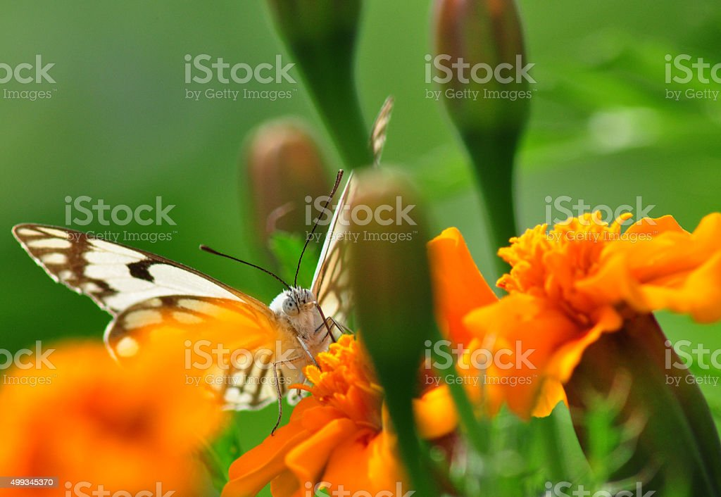 Delicate butterfly hiding between blooming flowers stock photo