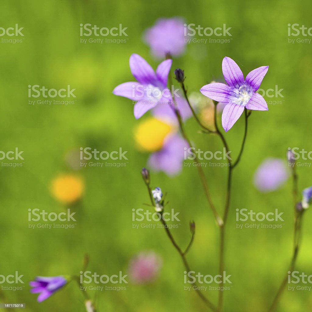 Delicate Campanula patula close up image with soft selective focus. stock photo