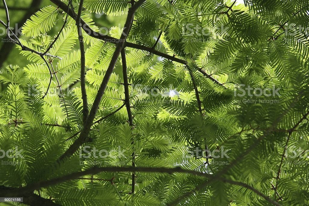 Delicate Canopy royalty-free stock photo