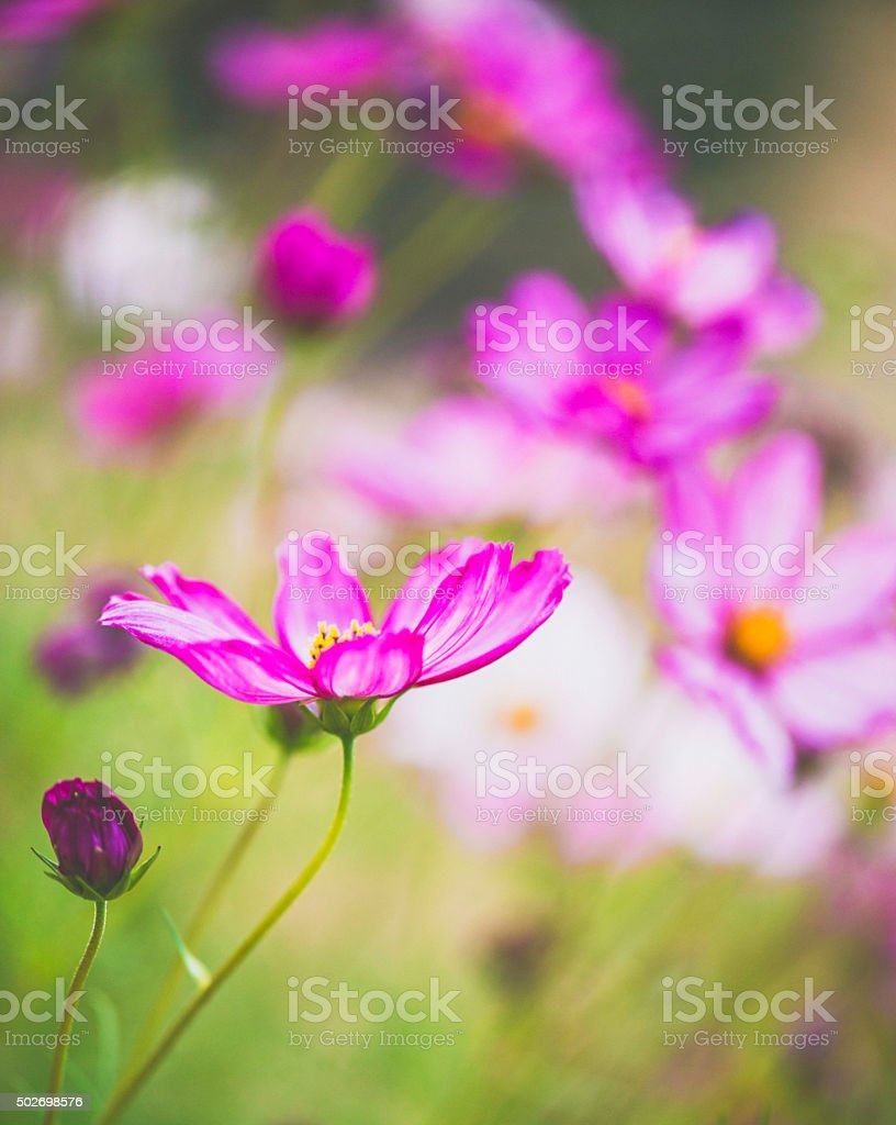 Delicate cosmos flowers in natural light stock photo