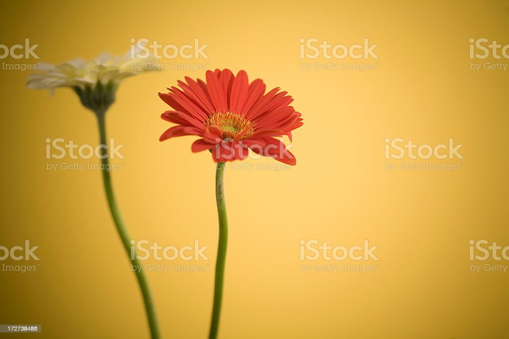 Delicate Daisies Dancing Dimly royalty-free stock photo