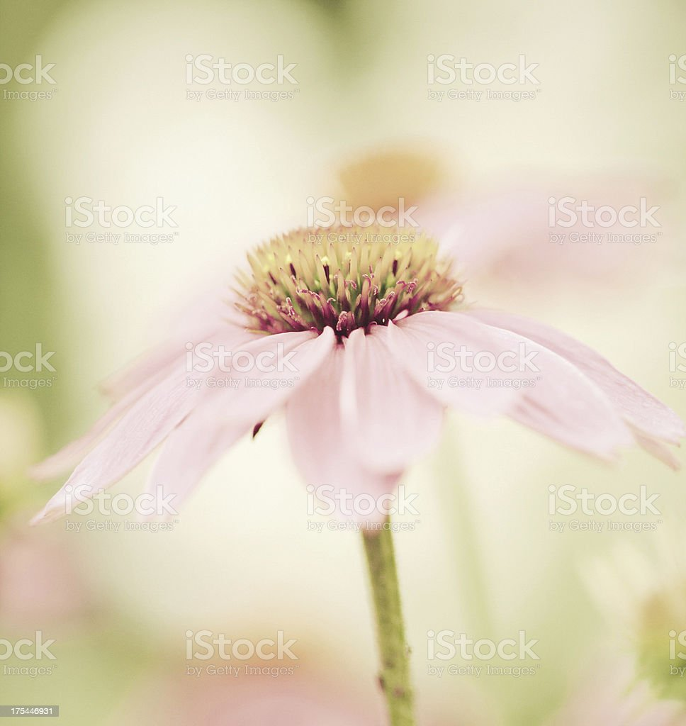 Delicate Daisy royalty-free stock photo