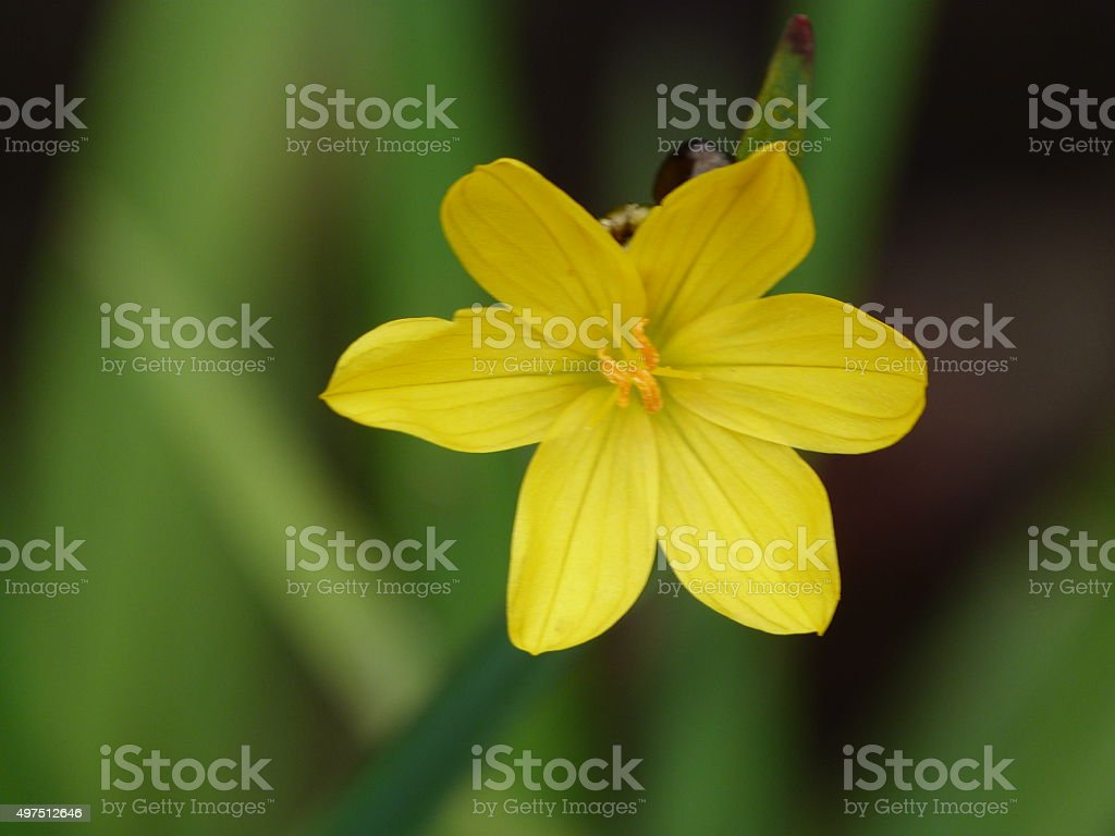 Delicate dwarf iris stock photo