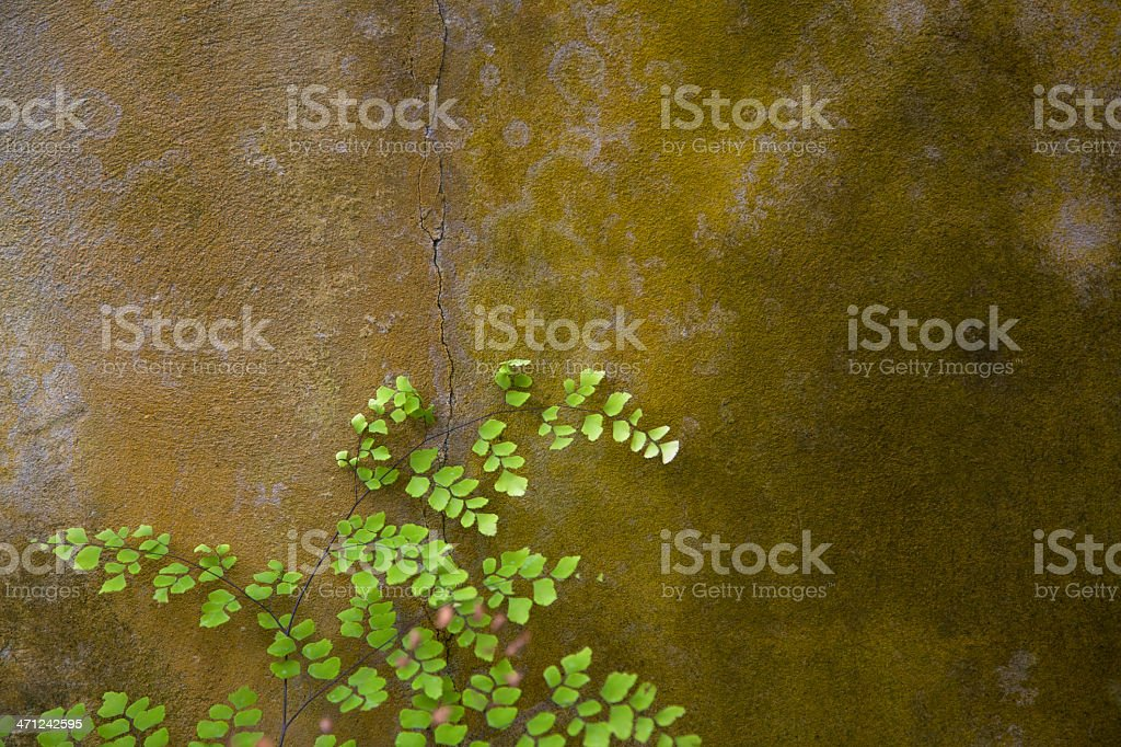 Delicate Fern, Cracked Mossy Wall, Grunge, Copy-space royalty-free stock photo
