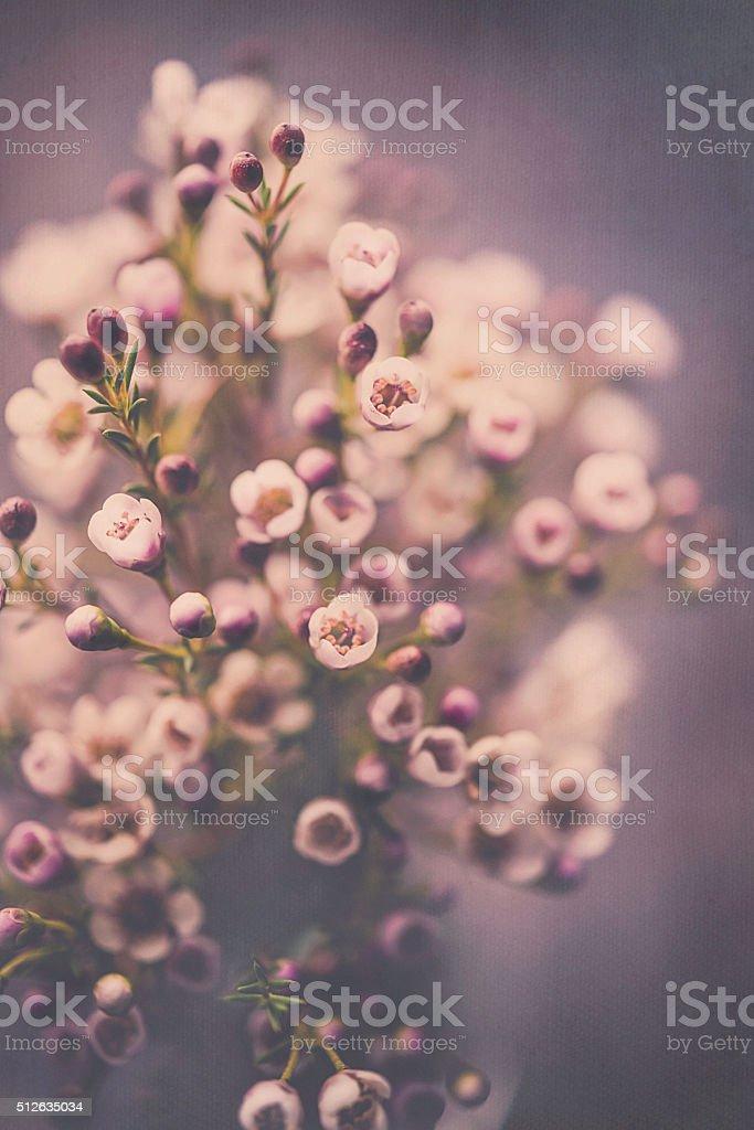 Delicate fresh waxflowers in vase against black background stock photo
