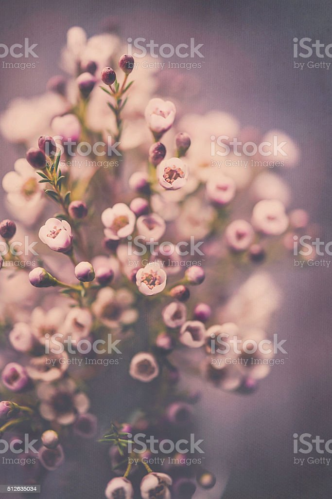 Delicate fresh waxflowers in vase against black background stock photo