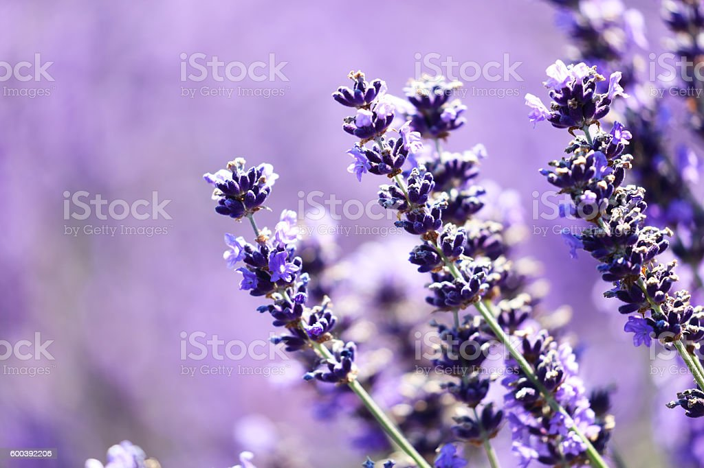 Delicate Lavender flowers. Close-up stock photo