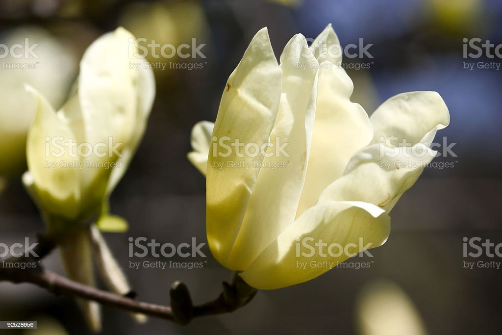 delicate magnolia royalty-free stock photo