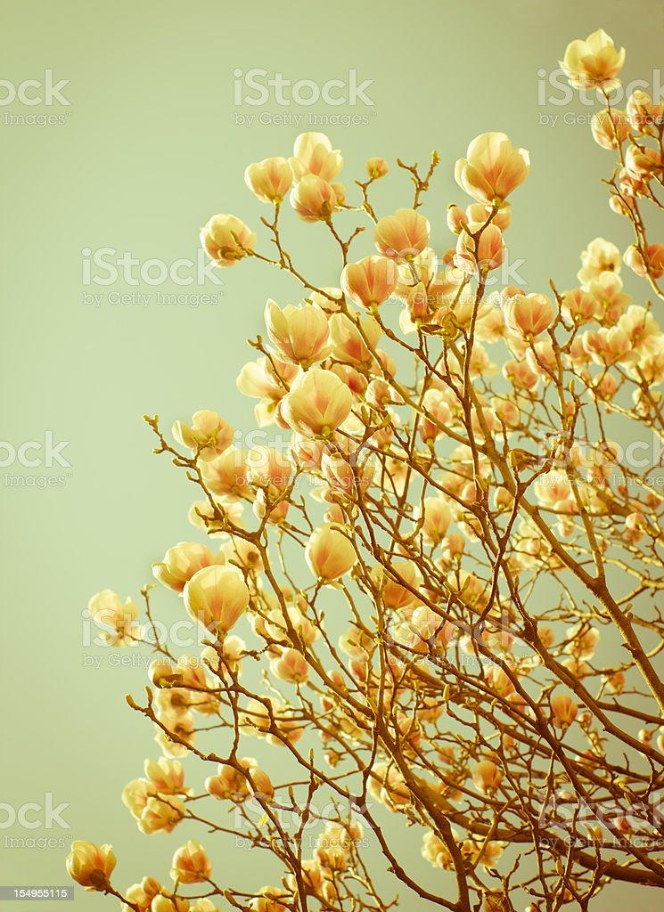 Delicate magnolias aged photo stock photo