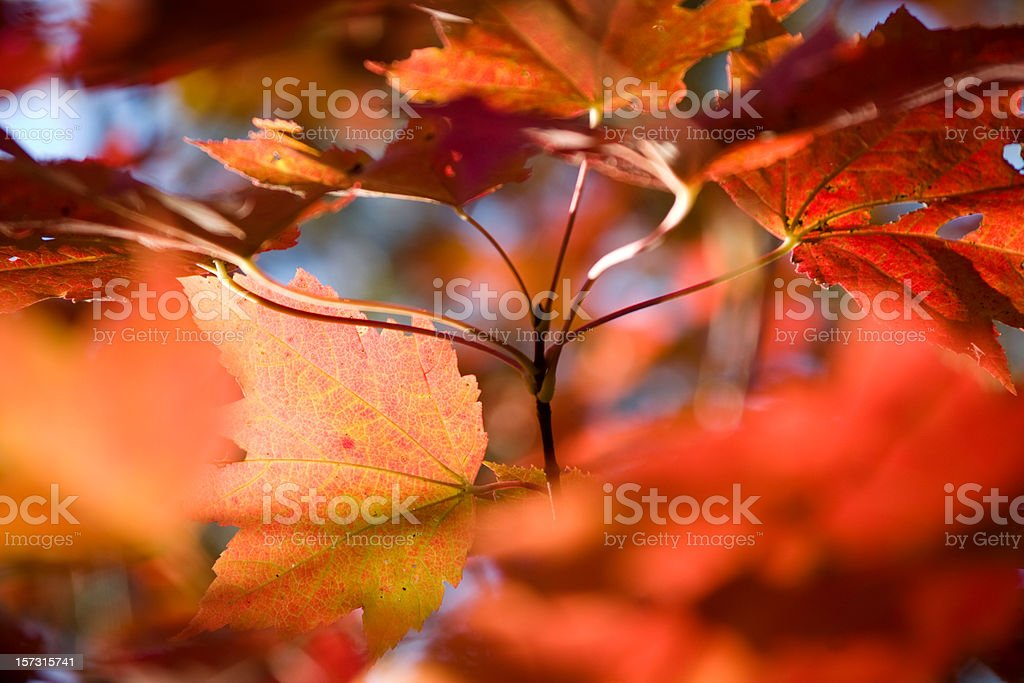 Delicate Maple Leaves royalty-free stock photo