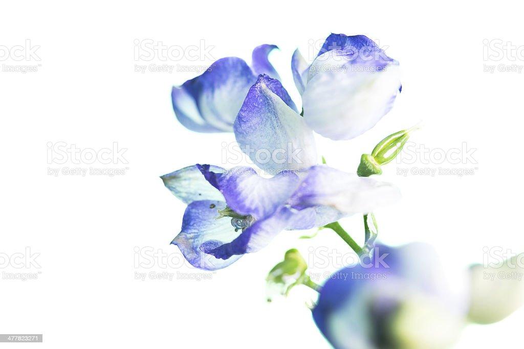 Delicate Monk's hood flowers in studio. royalty-free stock photo