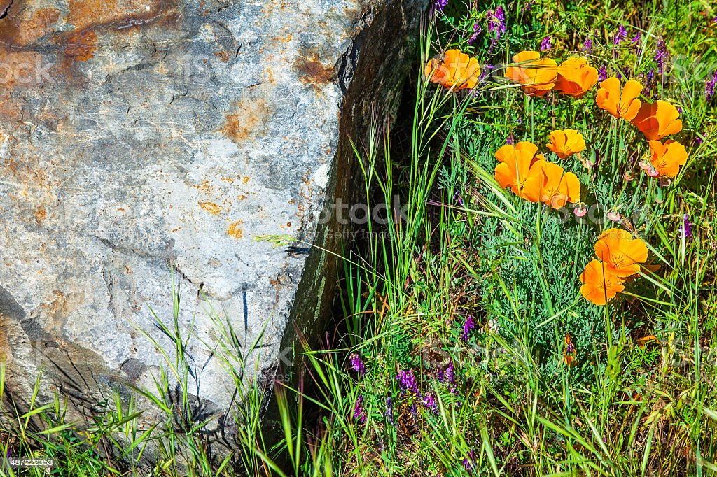 Delicate Orange and Purple Blossoms w/Grass Next to Gray Rock royalty-free stock photo