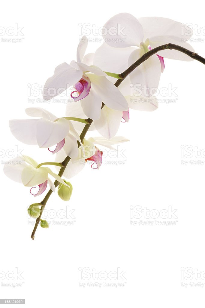 Delicate Orchid Blooming Isolated on White royalty-free stock photo