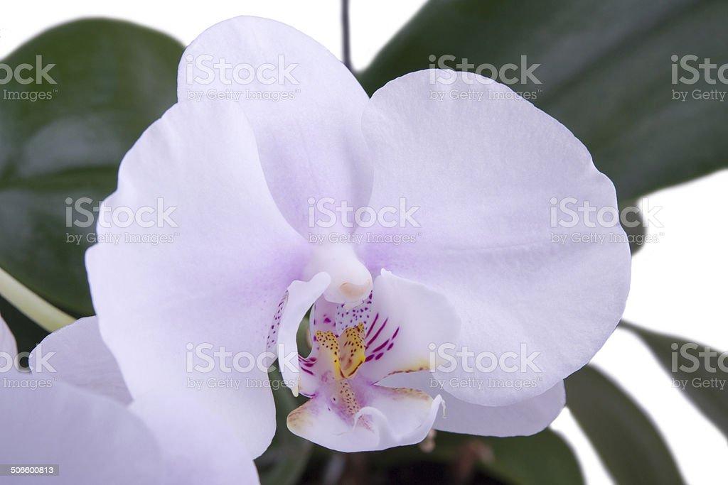 Delicada Orquídea macro foto royalty-free