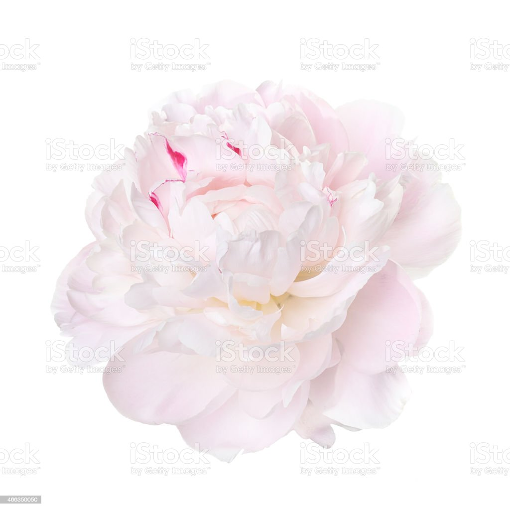 delicate pale pink peony isolated on a white background stock photo