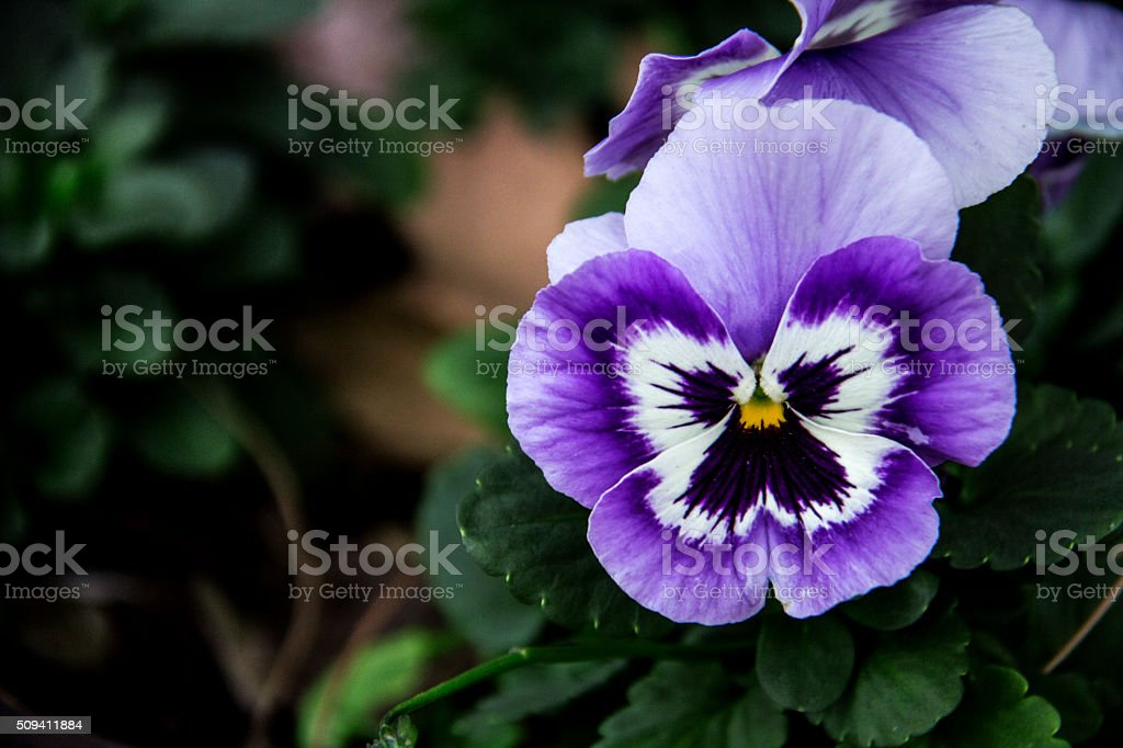 delicate pansy stock photo