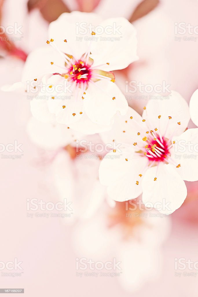Delicate Pink Cherry Blossom royalty-free stock photo